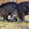 Élvezze a sikeres vadászatot a vaddisznó csalikkal